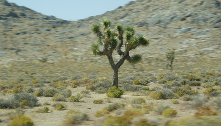 The Joshua tree is one of the plants found in the Mojave Desert.
