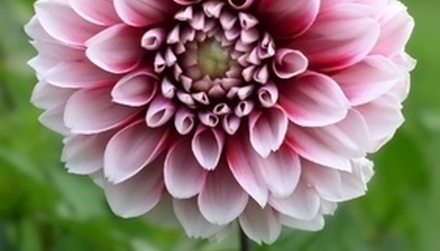 Some dahlias can thrive in tropical weather.