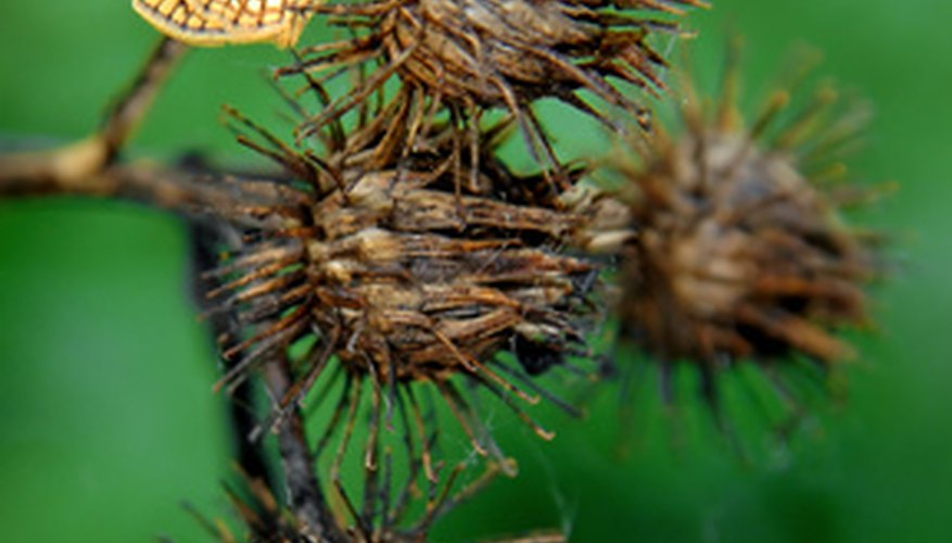 Burdocks produce seeds the second year.