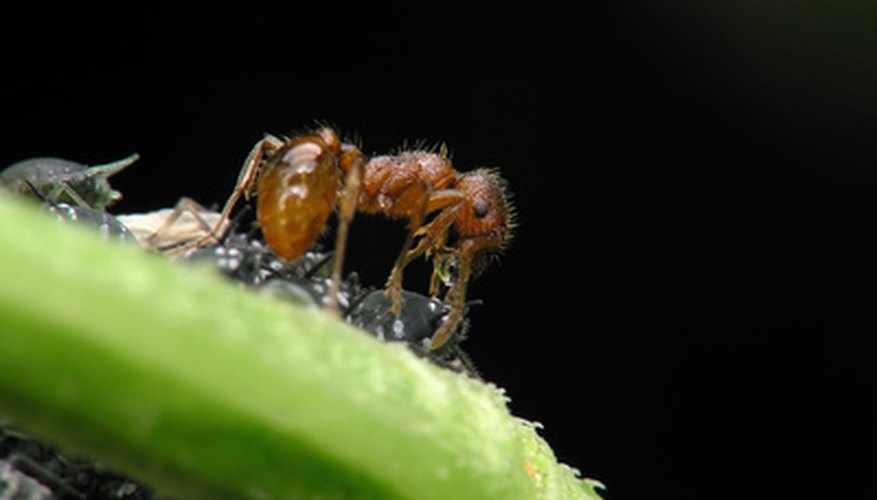 Fire ants are harmful insects that can bite people and pets.
