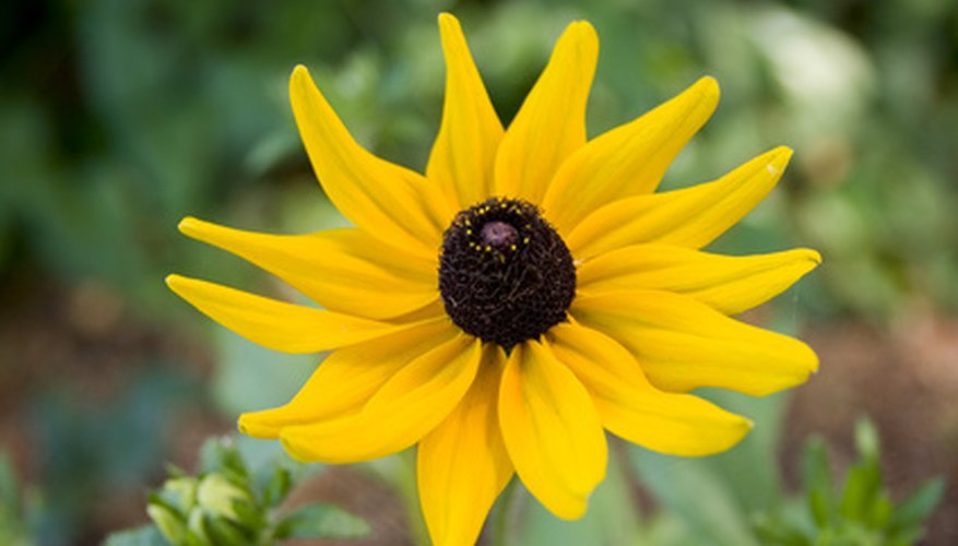 Black-eyed Susans are definitely in the daisy family.