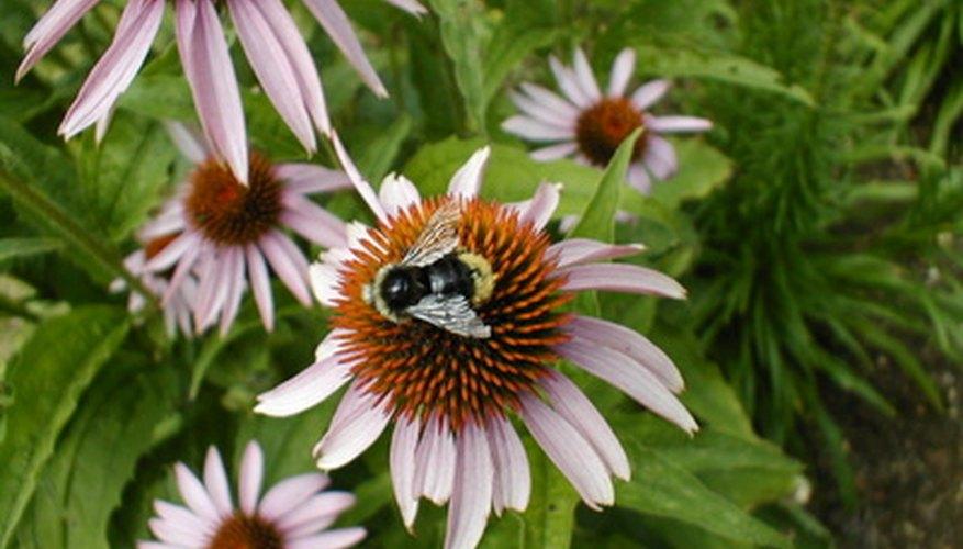 Plantas que disminuyen las abejas y las avispas - Aprenda sobre las flores Las abejas no les gusta