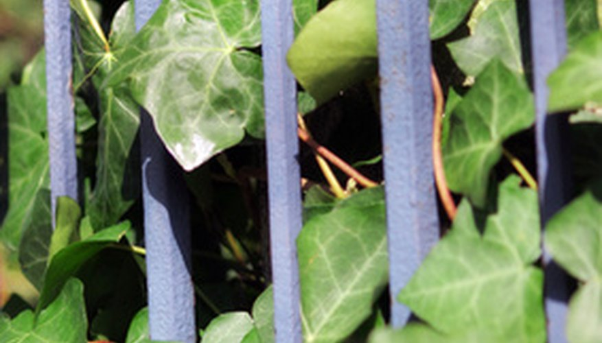 Ivy can be trained to climb up a trellis or gate.