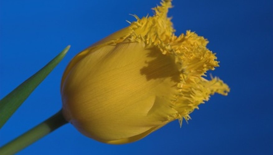 Fringed tulip in bloom.