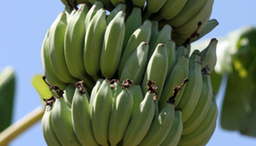 Look for full bunches with light green rather than dark green bananas for harvesting.