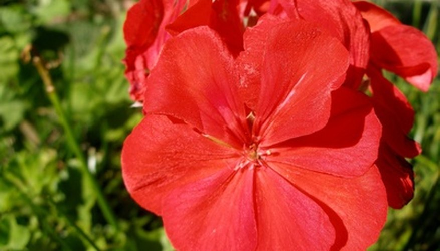 Geraniums produce colorful blossoms in spring and summer.