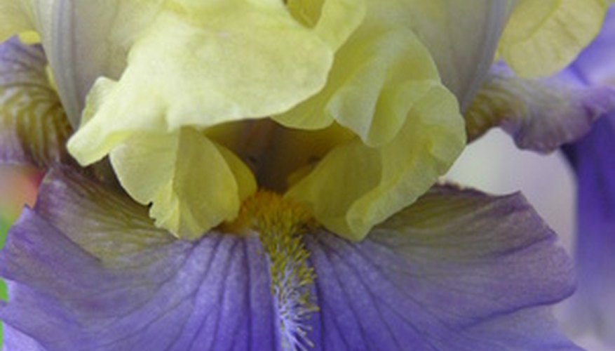 Bearded iris flower in bloom