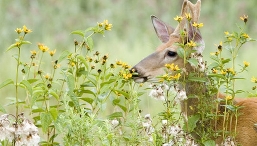 Although no flowers are completely deer-proof, many attractive bloomers are deer-resistant.