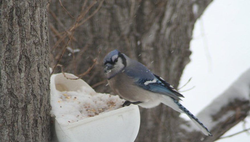 The blue jay can usually be found feeding on acorns in oak trees.