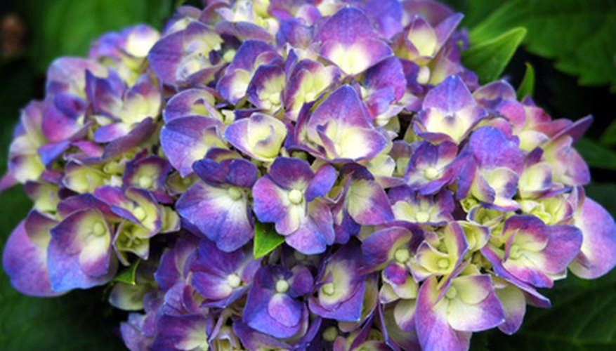 Hydrange bushes are classic flowering shrubs that light up the garden.
