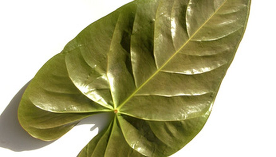 Triangular leaves are often more arrowhead-shaped.