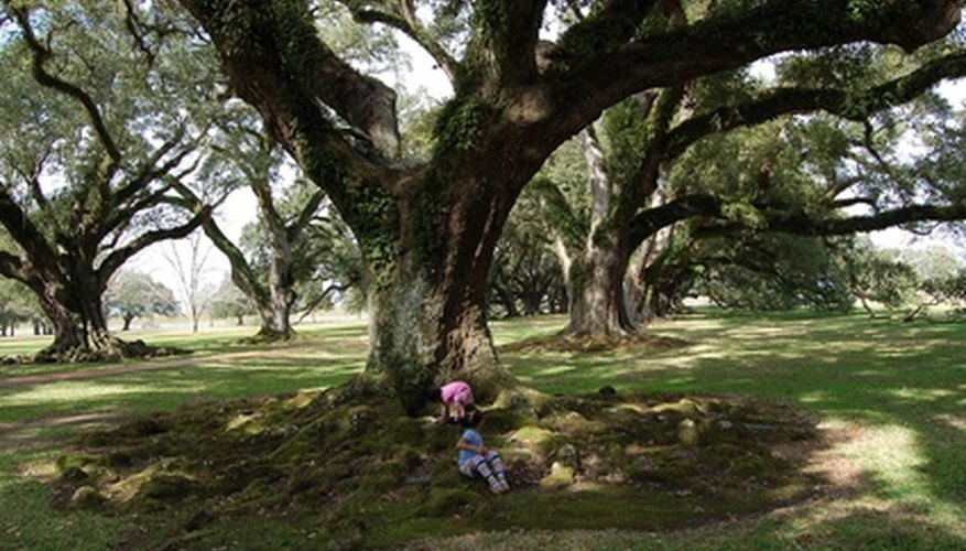 Live oak has huge branches that spread horizontally.
