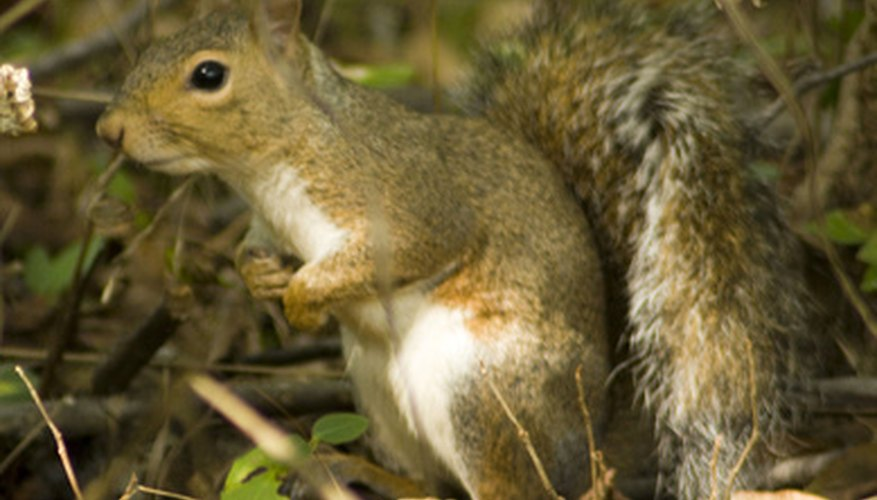 Squirrels can do serious damage to gardens.