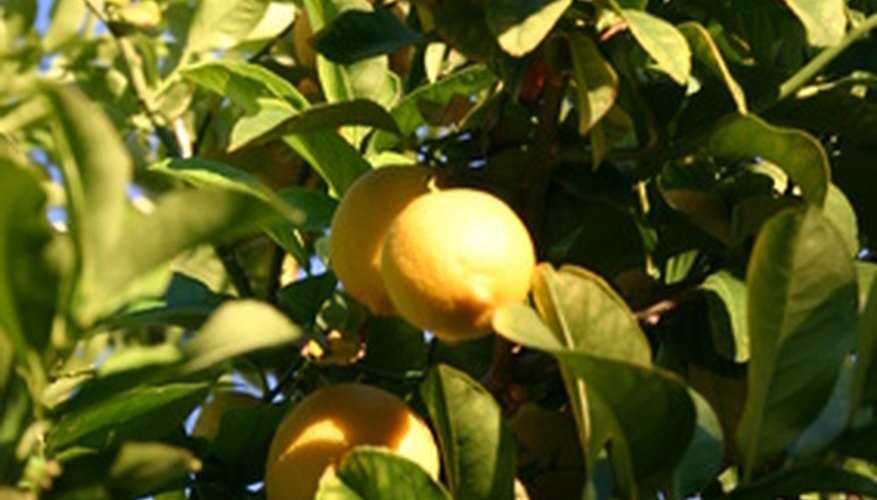 The orange tree's environment will affect its size.