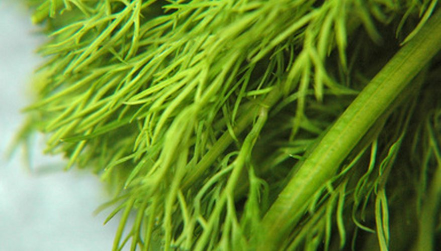 Dill weed can grow to 2 feet in height.