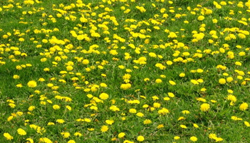 The mid-1940s saw the succesful test of an herbicide to kill dandelions.