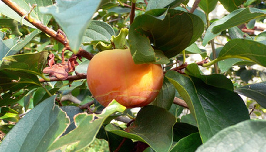 Persimmon fruit takes five months or more to mature.