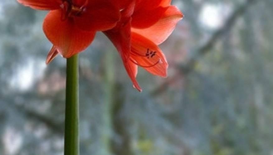 This bulb is also known as belladonna lily or amaryllis belladonna.