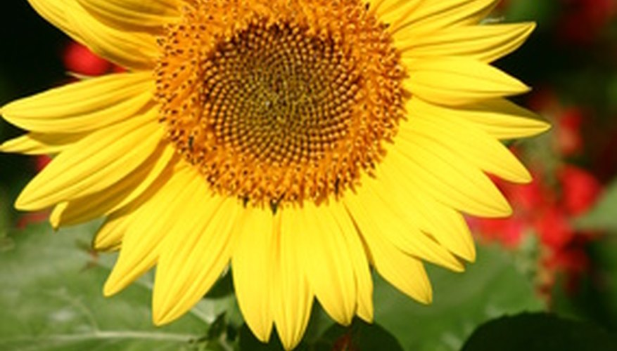 A sunflower is at the bottom of its food chain.