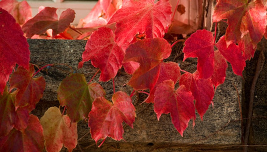 Red maple has full leaves with three lobes and they turn bright red in fall.