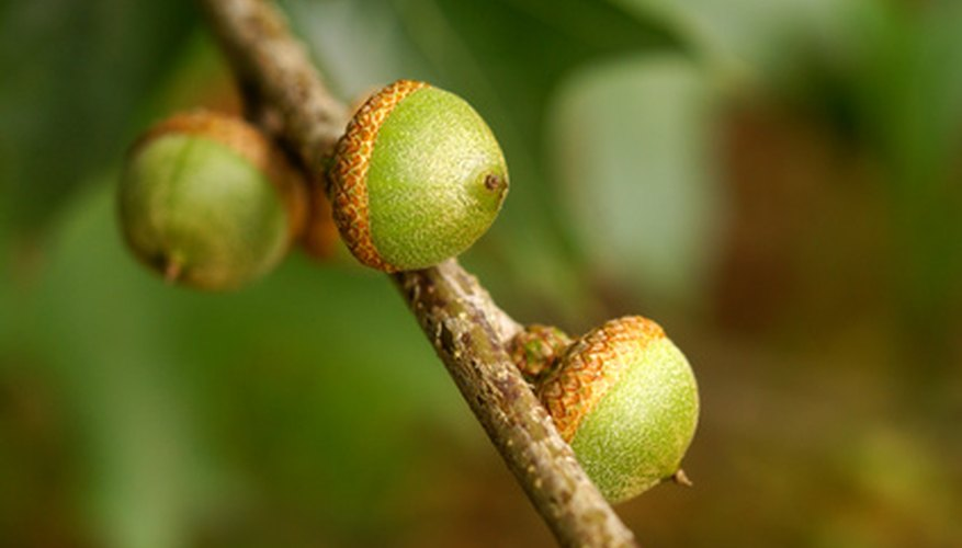 Pin oak tree acorns