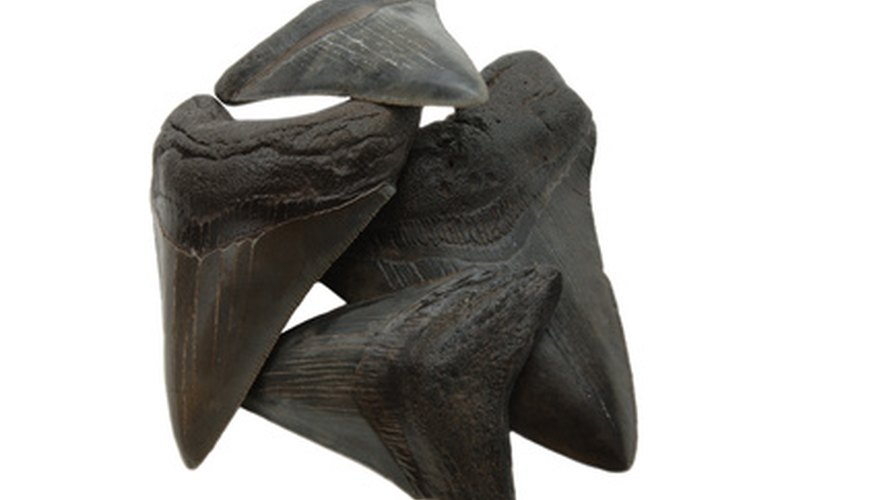 Most shark's teeth you find will be dark in color due to fossilization.
