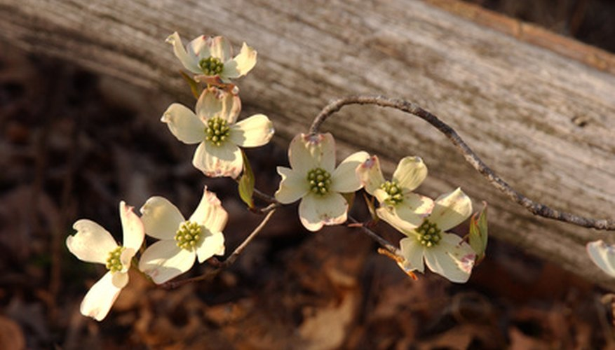 Dogwood flowers are tiny and green-yellow but are surround by four petal-like white bracts.