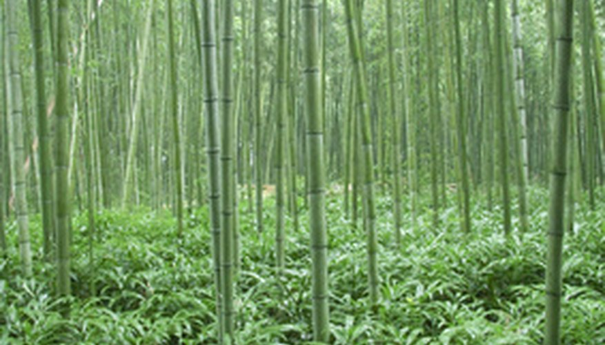Tall bamboo with a very low ground-cover bamboo.