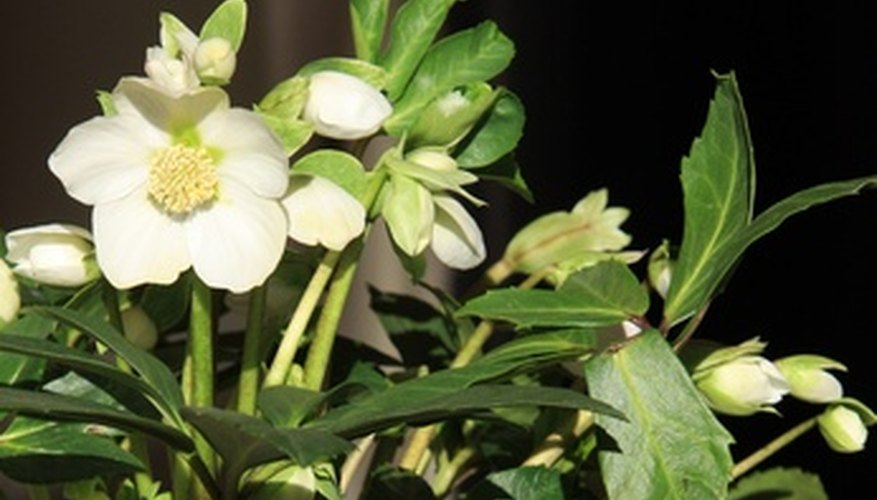 The white flower of the Lenten rose