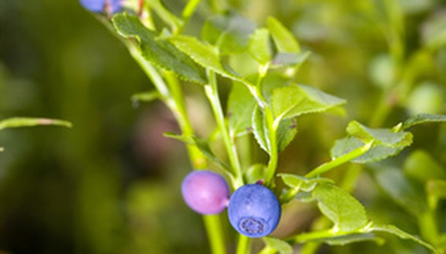 Huckleberries look similar to blueberries, but have a completely different flavor.