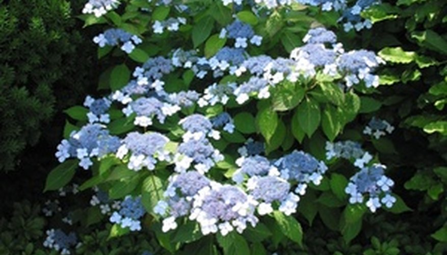 The blue lace-cap hydrangea likes acidic soil.