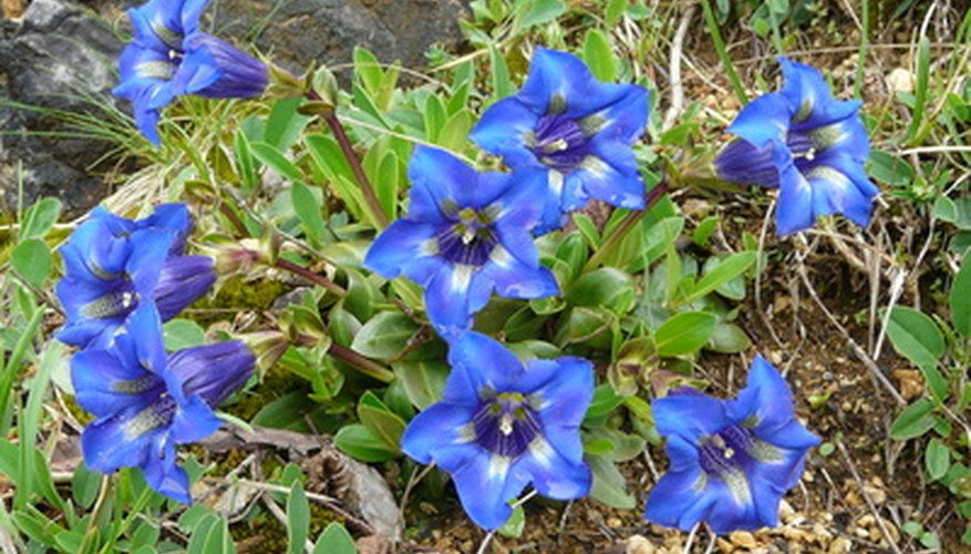 Mimic a prairie landscape by planting native wildflowers, like these gentian,  in your yard