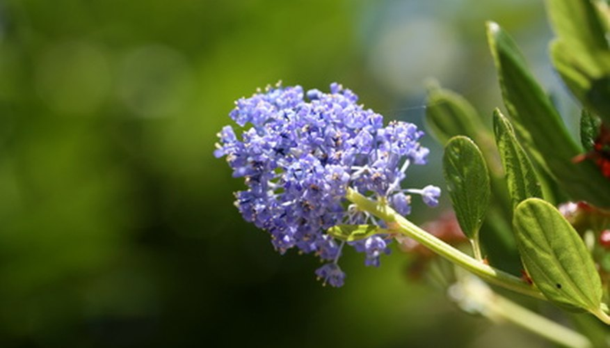 Ceanothus blooms in shades of lilac.