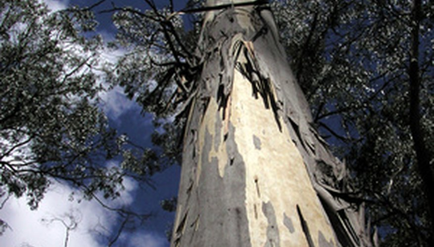 Eucalyptus trees are very tall, and the trunks are exposed until near the top.