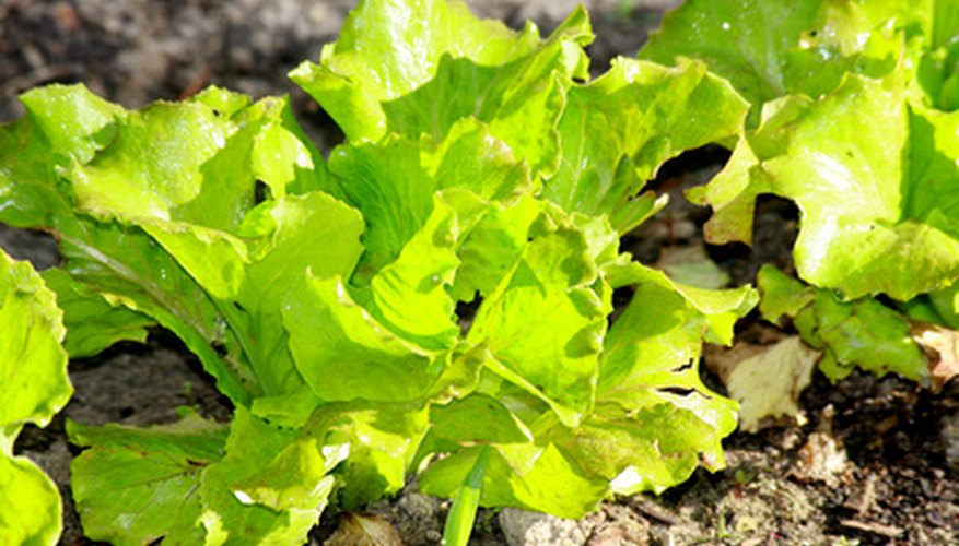 Most salad greens will over winter in the garden as long as they are given proper protection.