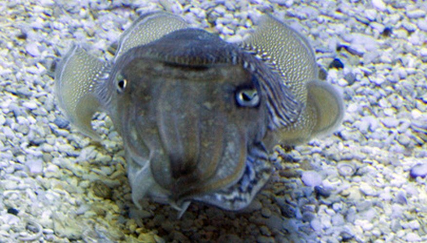 Cuttlefish can change colors to match their surroundings.