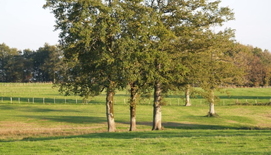 Nuttall oak trees are often confused with other varieties of oak.