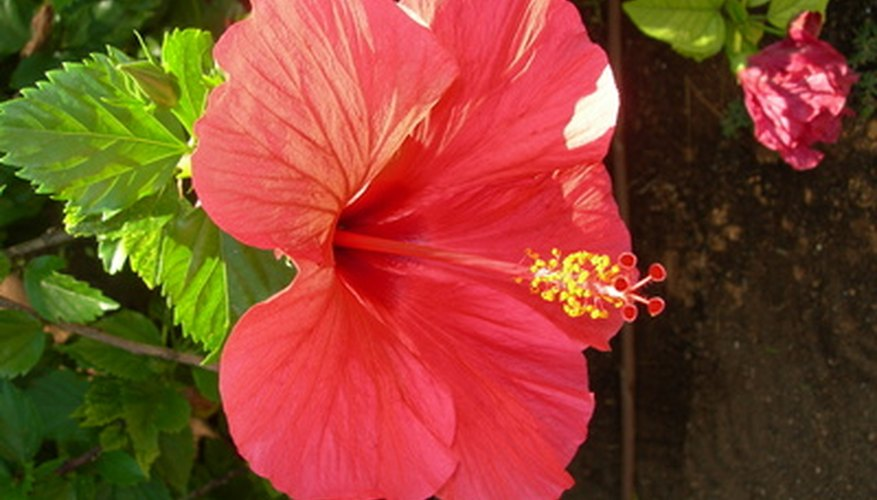 Hibiscus will thrive in a pot as small as 10 inches.