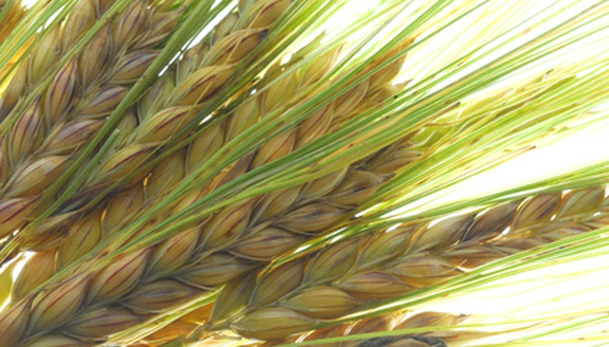 Barley is versatile and easy to grow.