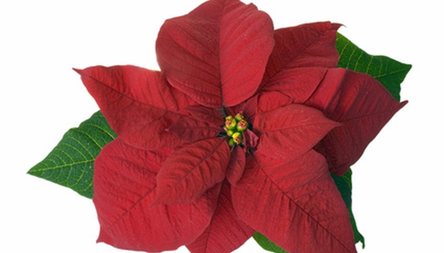 Poinsettias are a popular Christmas flower.