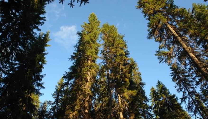 Towering pine tree forest