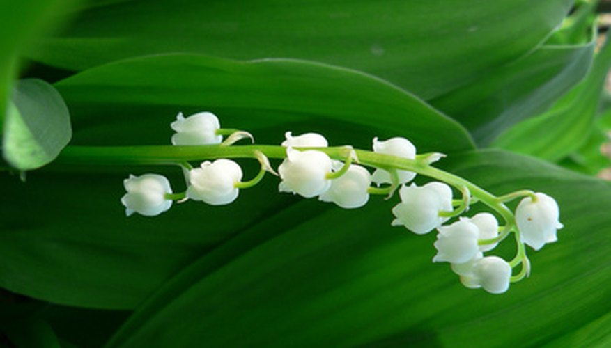 The delicate blooms of the Lily of the Valley