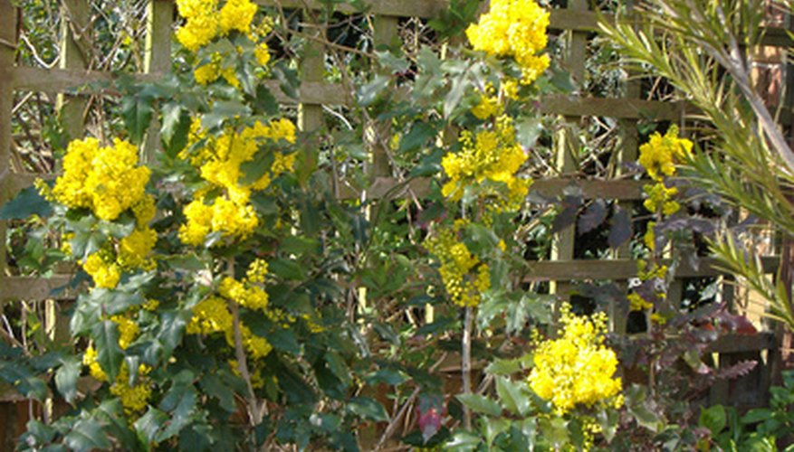 Lemon yellow flowers grow in clusters on the Chinese mahonia shrub.