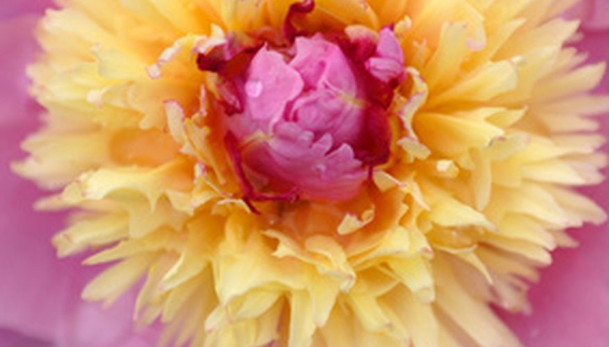 Single-flowered peonies can be exceptionally showy plants.