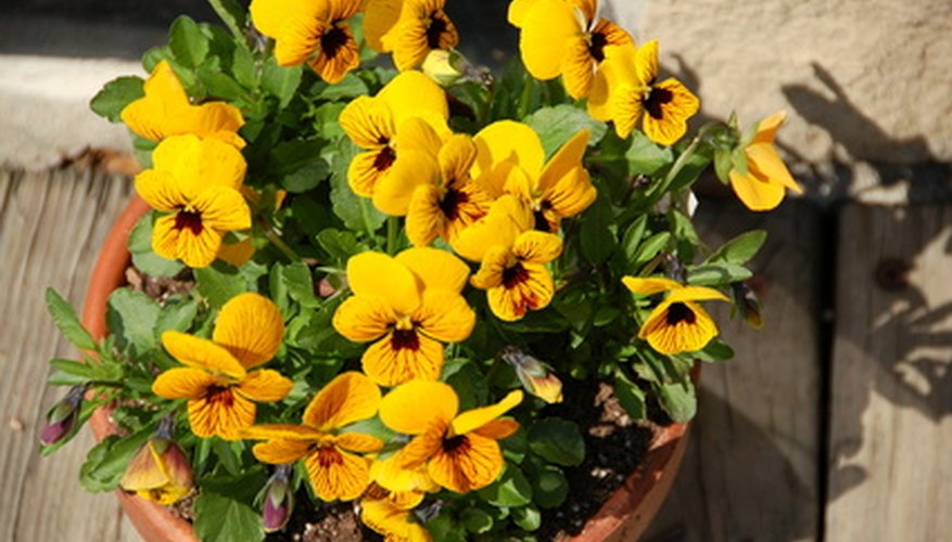 Pansies prefer cool temperatures and partial shade.