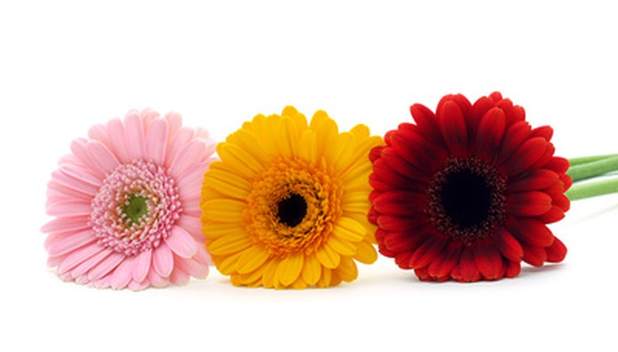 A trio of colorful gerber daisies.