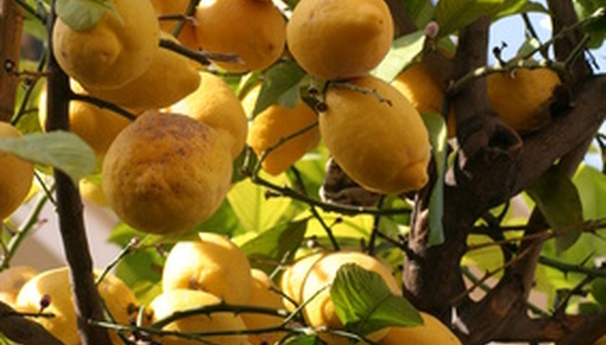 Several factors cause dry fruit on citrus trees, but many are preventable.