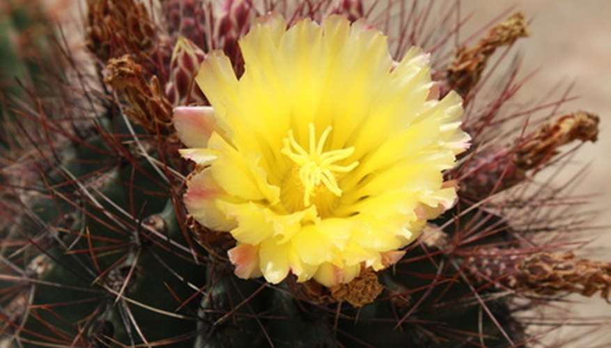 Emory's barrel cactus has a yellow bloom.