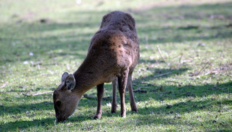 Keep Animals Away From Garden Part - 50: Deer Will Feast On Garden Plants And Vegetables.