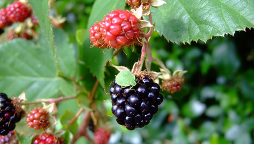 Clone your favorite blackberry bushes with tip layering.